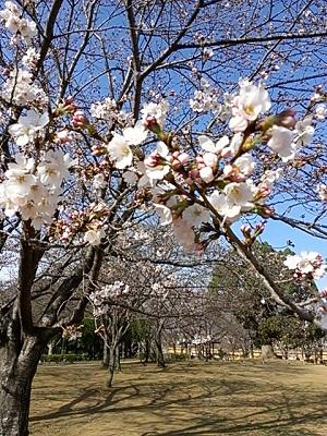 2014-03-29sakura.jpg