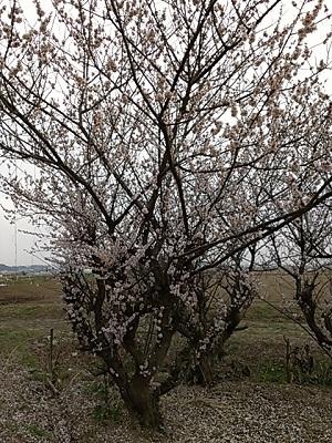 2014-03-26 07.02.39sakura.jpg